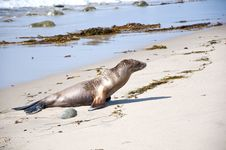 Free Seal Resting At The Beach Stock Photo - 13568650