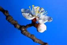 Free Apricot Bloom Royalty Free Stock Photography - 13568707
