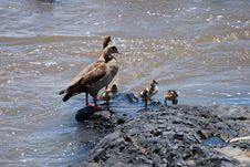 Free Egyptian Geese Stock Image - 13569681