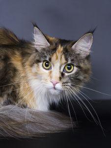 Free Big Cat Royalty Free Stock Photos - 13569808