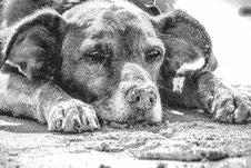 Free Dog, Black And White, Dog Breed, Dog Like Mammal Royalty Free Stock Photography - 135689367