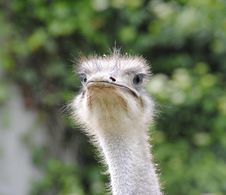 Free Ostrich, Bird, Beak, Ratite Royalty Free Stock Photography - 135689397