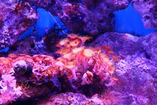 Free Coral Reef, Coral, Reef, Purple Royalty Free Stock Photography - 135689467