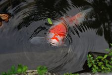 Free Koi, Water, Fish Pond, Pond Royalty Free Stock Photography - 135689537