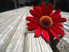 Free Flower, Red, Flora, Petal Stock Photos - 135689553