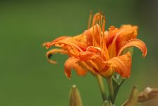 Free Flower, Lily, Orange Lily, Flora Stock Photo - 135689700