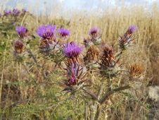 Free Plant, Thistle, Artichoke Thistle, Cynara Stock Image - 135689771