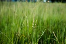 Free Grass, Field, Grass Family, Crop Royalty Free Stock Photography - 135689957