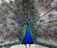Free Peafowl, Feather, Galliformes, Phasianidae Royalty Free Stock Photo - 135690085