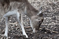 Free Red Deer - Cervus Elaphus Stock Photography - 13570562