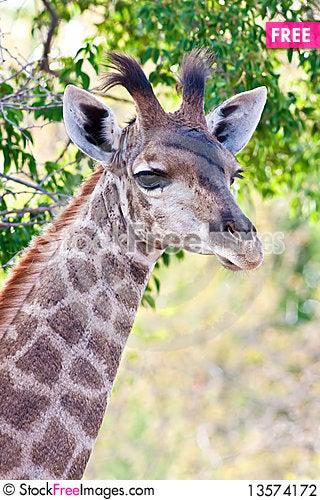 Young giraffe Stock Photo