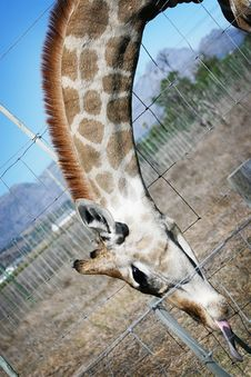 Free Giraffe Royalty Free Stock Photo - 13570145