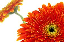 Free Two Orange Flowers Royalty Free Stock Photo - 13570685