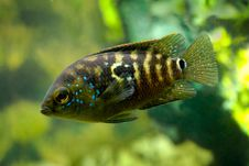 Free Aquarium Fish Cichlidae Cichlasoma Stock Photography - 13570922