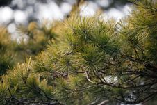 Free Pine Tree Background Stock Photos - 13571673