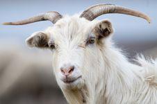 Free Goat Portrait Stock Photography - 13572602