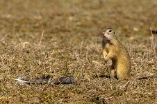 Free Souslik Or European Ground Squirrel Royalty Free Stock Images - 13572619