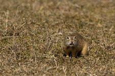 Free Souslik Or European Ground Squirrel Royalty Free Stock Photos - 13572638
