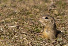 Free Souslik Or European Ground Squirrel Royalty Free Stock Photography - 13572687