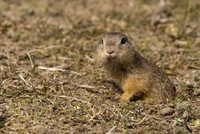Free Souslik Or European Ground Squirrel Stock Photo - 13572710