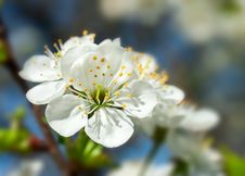 Free Cherry Blossom Royalty Free Stock Photo - 13573125