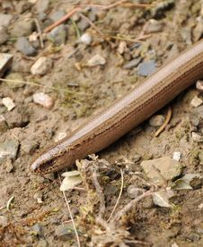 Free Slowworm Royalty Free Stock Photo - 13573265
