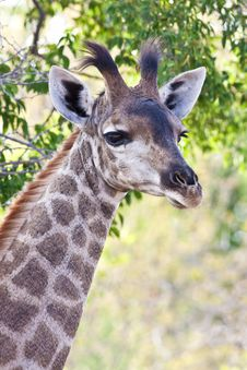 Free Young Giraffe Stock Photography - 13574172