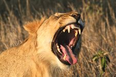 Free Female Lion Roaring Royalty Free Stock Photography - 13574427