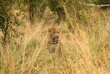 Free Leopard In Sabi Sand Private Reserve Royalty Free Stock Image - 13574446