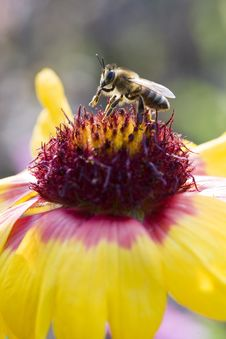 Free Bee On Collects Nectar Stock Photos - 13575043