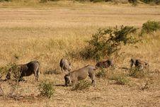 Free Warthog In Sabi Sands Safari Stock Photos - 13575333