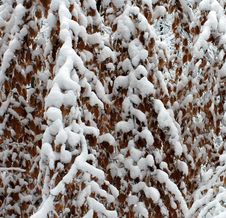 Snow Covered Curtain Of Tree Branches And Leaves Stock Image
