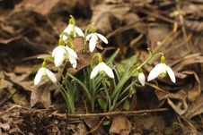 First Snowdrop Stock Image