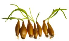 Free Germinate Onion Stock Images - 13575624