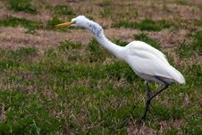 Free Great White Heron Attacking Stock Photo - 13576280