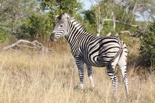 Free Zebra In South Africa Stock Photo - 13576760