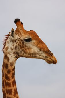 Giraffe In Sabi Sand Reserve, Africa Stock Photos