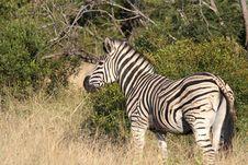 Free Zebra Stock Image - 13576861