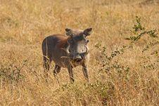 Free Warthog In Sabi Sands Safari Royalty Free Stock Image - 13576886