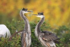 Free Great Blue Heron Chicks Stock Photography - 13576952