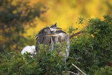 Free Great Blue Heron Chicks Stock Images - 13576954