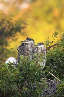 Free Great Blue Heron Chicks Royalty Free Stock Photo - 13576955