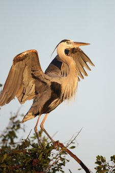 Free Great Blue Heron Stretching Stock Photo - 13576960