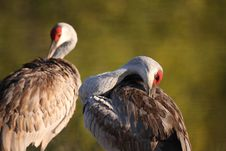 Free Sandhill Crane Pair Stock Photos - 13576963