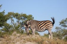 Free Zebras Stock Photo - 13577130