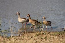 Free Egyptian Geese; Africa Royalty Free Stock Image - 13577226