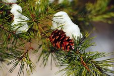 Free Winter Pine Cone Royalty Free Stock Photo - 13577765