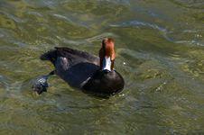 Free Mallard Duck Stock Image - 13578881