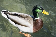 Free Mallard Duck Stock Image - 13578921