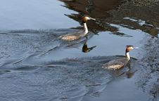 Free Grebes Stock Photos - 13578943